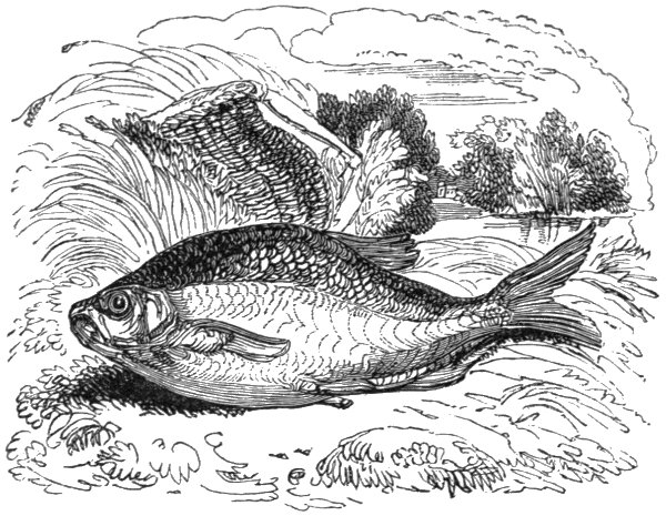 The Bream Is A Well Known Fish And Yields Good Diversion To Angler It Found In Slow Running Deep Rivers But Chiefly Met With Extensive