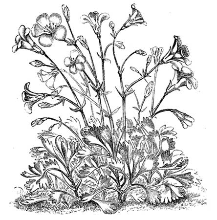 Purple Saxifrage Drawing Easy Sketch Coloring Page  Purple Saxifrage Drawing