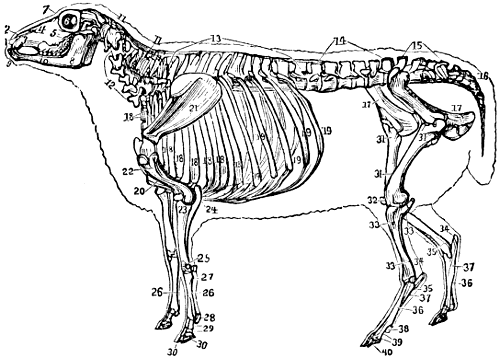 Anatomy of sheep